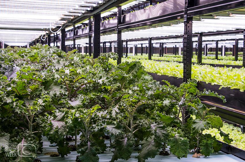 Urban Organics Kale